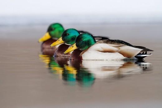 Mallard ducks swimming in lake : Stock Photo