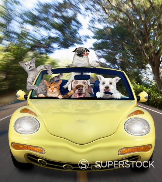 Cats and dogs on a road trip : Stock Photo