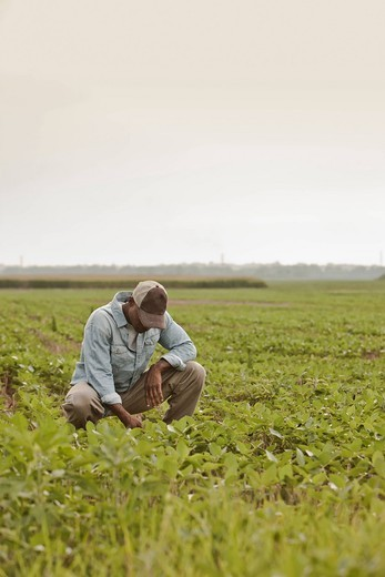 African American farmer looking at crops in field : Stock Photo