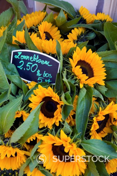 Stock Photo: 1589-155309 Sunflowers for sale