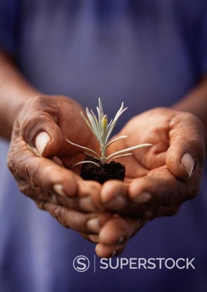 Close up of Hispanic man holding lavender seedling : Stock Photo