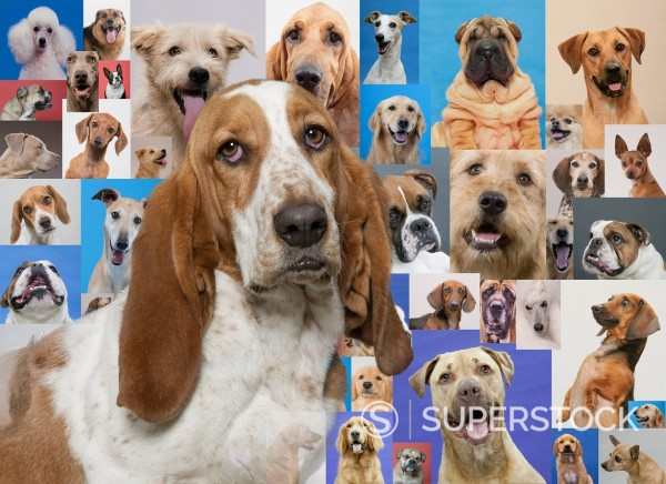 Stock Photo: 1589R-139030 Basset hound and montage of various dogs