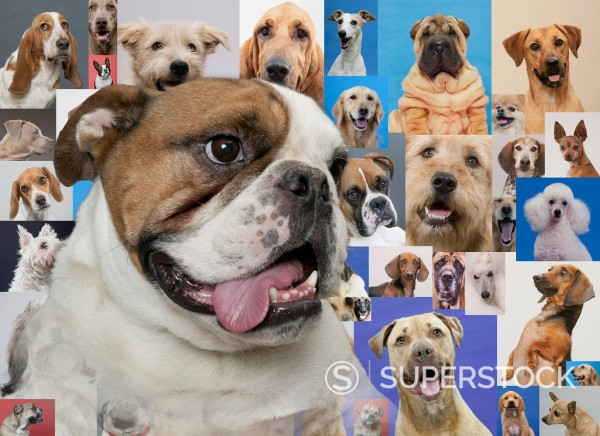 Stock Photo: 1589R-140618 English bulldog and montage of various dogs
