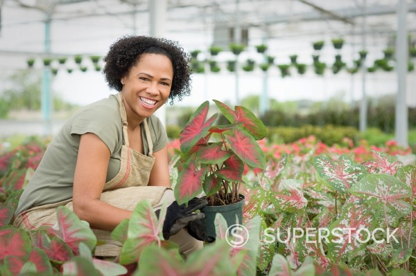 Stock Photo: 1589R-148883 African American worker tending to plants in greenhouse
