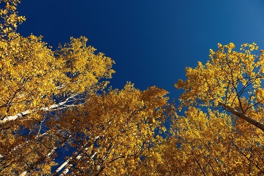 Trees with yellow autumn leaves : Stock Photo
