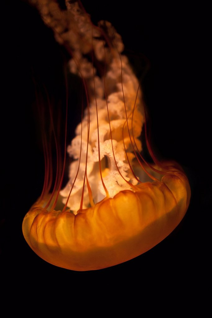 Jellyfish floating upside down : Stock Photo