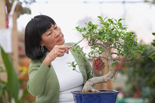 Senior Asian woman pruning bonsai tree : Stock Photo