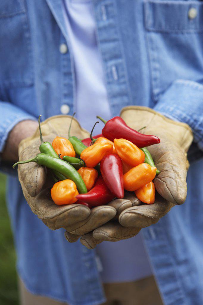 Hispanic man holding peppers : Stock Photo