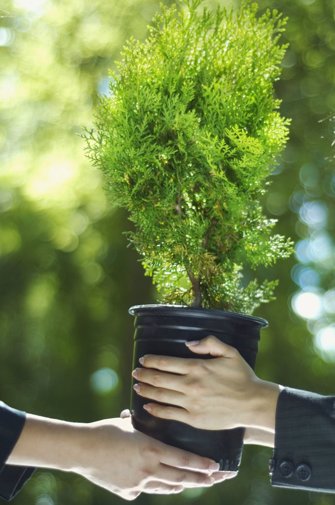Stock Photo: 1589R-73779 Close up of Hispanic businesswomen holding potted tree