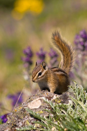 Stock Photo: 1596-1057 Chipmunk on a rock
