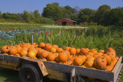 Stock Photo: 1596-1216A Pumpkins loaded in a wagon at a farm, Middlefield, Connecticut, USA