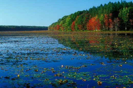 Lily pads in a lake, Pine Acres Lake, James L. Goodwin State Forest, Hampton, Connecticut, USA : Stock Photo