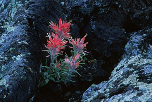 Stock Photo: 1596-1262 Indian Paintbrush (castilleja mutis) flowers blooming on rocks, North Crater Flow, Craters of the Moon National Monument, Idaho, USA
