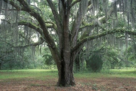 Oak trees in a forest, Hofwyl-Broadfield Plantation Historic Site, Georgia, USA : Stock Photo