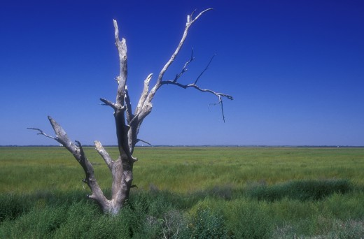 Dead tree in a field, Cheyenne Bottoms Wildlife Area, Kansas, USA : Stock Photo