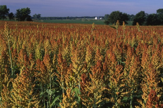 Stock Photo: 1596-1566 Sorghum crop in field, Marshall County, Kansas, USA