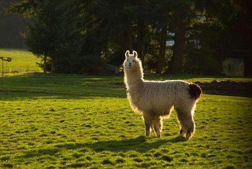 Stock Photo: 1596-1653 Llama (Lama glama) standing in a field, Oregon, USA