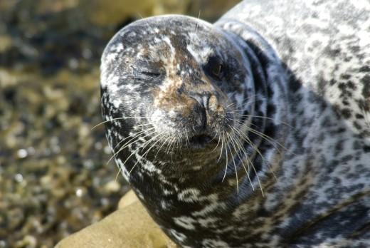 Close-up of a Harbor seal (Phoca vitulina) on the beach, Casa Beach, Ellen Browning Scripps Park, La Jolla, San Diego, California, USA : Stock Photo