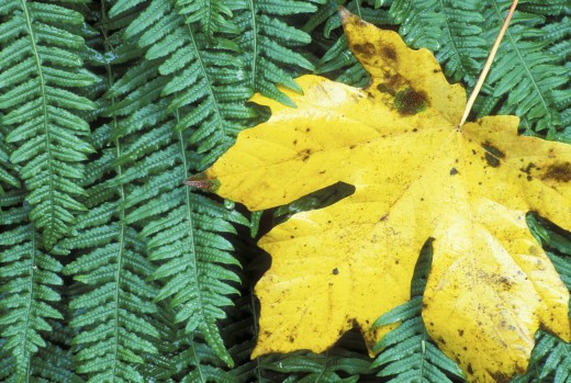 Stock Photo: 1596-179 Close-up of a dry sugar maple leaf (Acer saccharum)