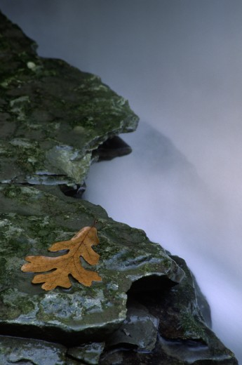 Stock Photo: 1596-1836 Oak leaf on a rock at the base of a waterfall, Hidden Falls, Nerstrand Big Woods State Park, Nerstrand, Minnesota, USA