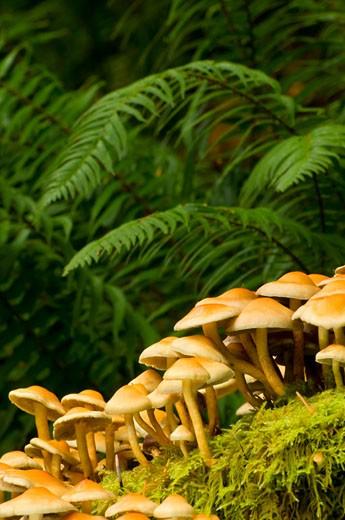 Stock Photo: 1596-1971B Close-up of mushrooms, Silver Falls State Park, Oregon, USA