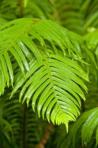 Close-up of Sword fern (Polystichum munitum), James Irvine Trail, Prairie Creek Redwoods State Park, Redwood National Park, California, USA : Stock Photo