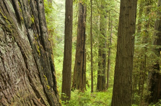 Stock Photo: 1596-1988 Coast redwood trees (Sequoia sempervirens) in a forest, James Irvine Trail, Prairie Creek Redwoods State Park, Redwood National Park, California, USA