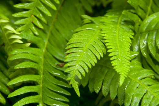 Stock Photo: 1596-1990 Close-up of Deer fern (Blechnum spicant), Foothill Trail, Prairie Creek Redwoods State Park, Redwood National Park, California, USA