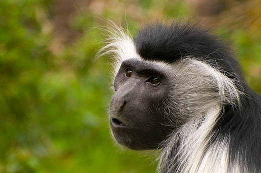 Stock Photo: 1596-2045 Eastern Angolan colobus (Colobus angolensis) in a zoo