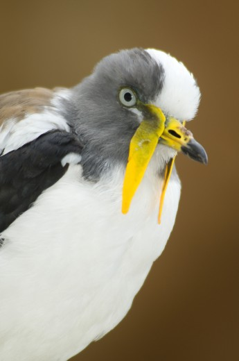 Close-up of a White-Headed lapwing (Vanellus albiceps), San Diego, California, USA : Stock Photo