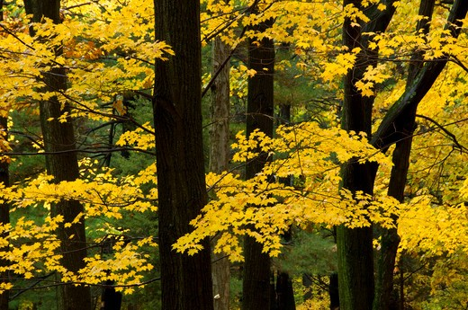 Sugar maple (Acer saccharum) trees in a forest, AW Stanley Park, New Britain, Hartford County, Connecticut, USA : Stock Photo