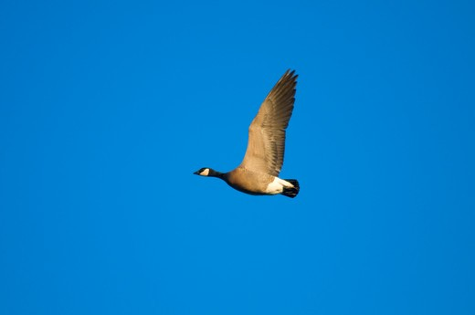 Canada goose (Branta canadensis) in flight, William L. Finley National Wildlife Refuge, Oregon, USA : Stock Photo