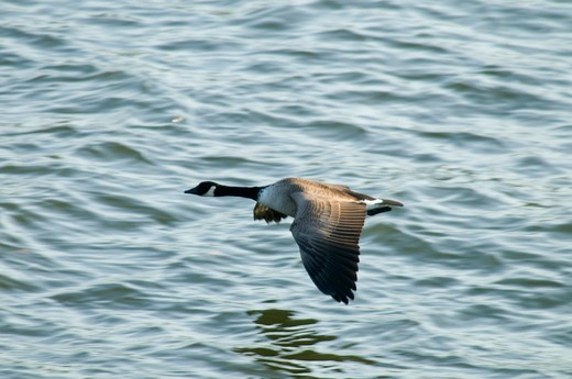 Stock Photo: 1596-2415 Canada goose (Branta canadensis) flying over a river, Willamette River, Tom McCall Waterfront Park, Portland, Oregon, USA