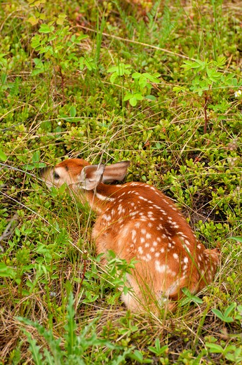 Stock Photo: 1596-2588B White-tailed deer (Odocoileus virginianus) fawn in a forest, Bow Valley Parkway, Banff National Park, Alberta, Canada