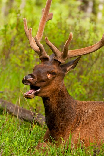 Elk (Cervus canadensis) calling, Bow Valley Parkway, Banff National Park, Alberta, Canada : Stock Photo