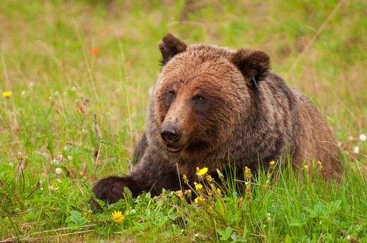 Grizzly bear (Ursus arctos horribilis) resting in a field, Bow Valley Parkway, Banff National Park, Alberta, Canada : Stock Photo