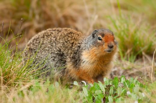 Stock Photo: 1596-2671 Columbian Ground squirrel (Urocitellus columbianus), Banff National Park, Alberta, Canada