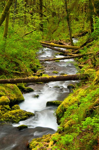 Stock Photo: 1596-2706 Creek flowing through a forest, Gorton Creek, Mt Hood National Forest, Columbia River Gorge National Scenic Area, Oregon, USA