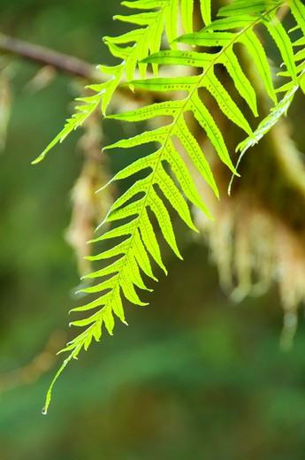 Stock Photo: 1596-2727 Licorice fern (Polypodium glycyrrhiza), Drift Creek Falls Trail, Siuslaw National Forest, Oregon, USA