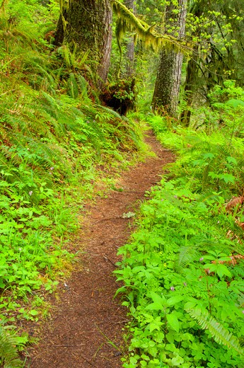 Stock Photo: 1596-2738 Trail in a forest, Harris Ranch Trail, Drift Creek Wilderness, Siuslaw National Forest, Oregon, USA