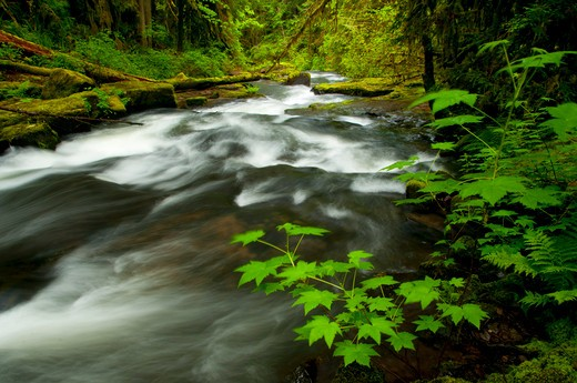 Stock Photo: 1596-2742 River flowing through a forest, South Fork Alsea River, Alsea Falls Trail, Alsea Falls Recreation Site, South Fork Alsea River National Back Country Byway, Oregon, USA