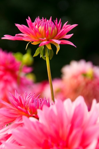 Lindy dahlia, Swan Island Dahlias, Clackamas County, Oregon, USA : Stock Photo