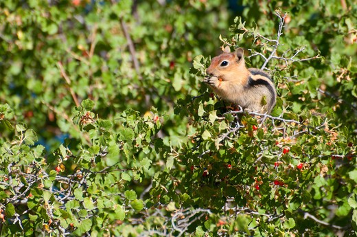 Stock Photo: 1596-2775 Golden-Mantled Ground squirrel (Spermophilus lateralis) feeding on berries, Delintment Lake, Ochoco National Forest, Oregon, USA