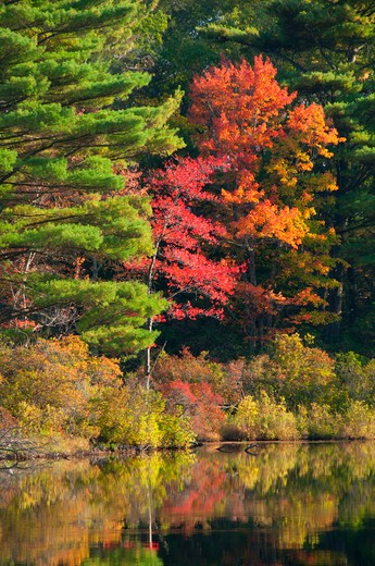 Stock Photo: 1596-2875 USA, Connecticut, Nipmuck State Forest, Morey Pond, Forest in autumn foliage reflected in water