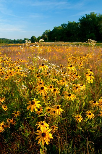 Stock Photo: 1596-2879 USA, Connecticut, Haddam Meadows State Park, Meadow filled with Black-eyed Susans