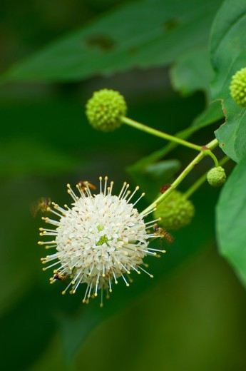 Stock Photo: 1596-2933 USA, Connecticut, Cheshire, Farmington Canal Greenway, Lock 12 Historical Park, Farmington Canal Heritage Trail, Close-up of flower