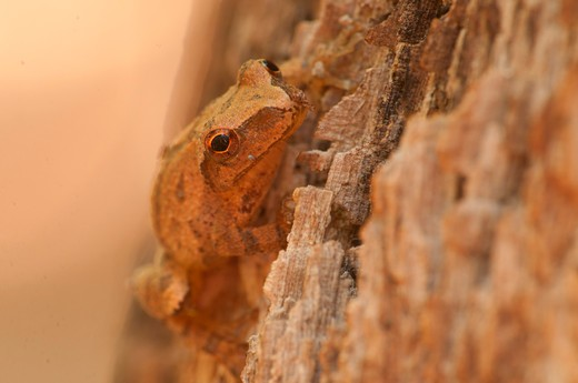 USA, Connecticut, New England National Scenic Trail, Spring peeper along Mattabesett Trail : Stock Photo