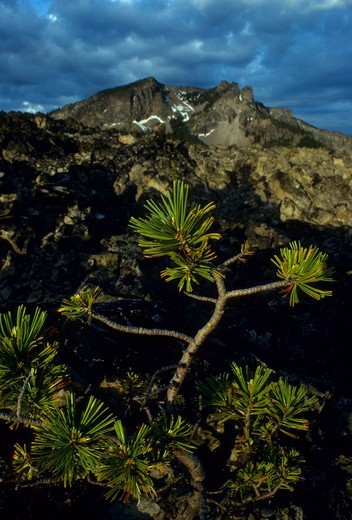 Stock Photo: 1596-3008 Whitebark pine tree (Pinus albicaulis) with a mountain in the background, Paulina Peak, Newberry National Volcanic Monument, Oregon, USA