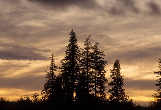 Fir trees at sunset, Spongs Landing County Park, Marion County, Oregon, USA : Stock Photo