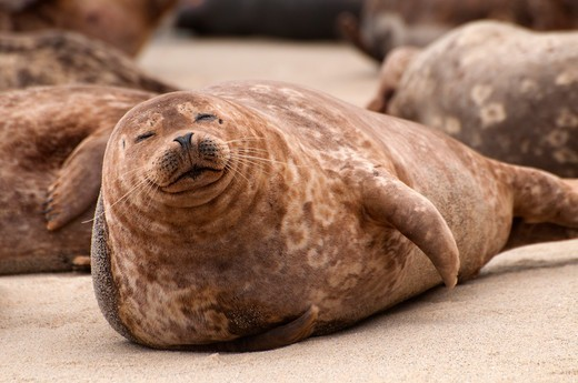Harbor seals (Phoca vitulina) on the beach, Children's Pool Beach, Ellen Browning Scripps Marine Park, La Jolla, San Diego, California, USA : Stock Photo